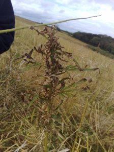 Up at the field, the remains of the plant after harvest